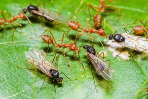 röda myror armé foto