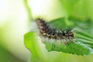gypsy moth larver