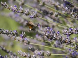 kolibri fjäril foto