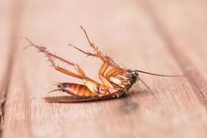 döda kackerlackor foto