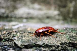 röd kackerlacka foto