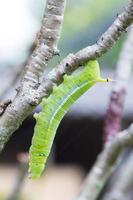 grön larv på en trädgren foto