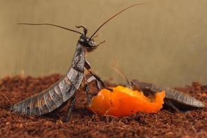närbild madagaskar kackerlackor äter orange frukt foto