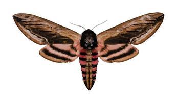 privet hawk moth foto
