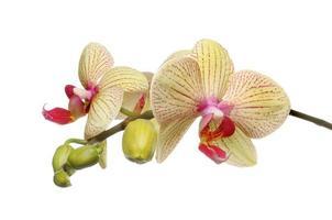 mal orkidé foto