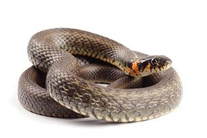 gräs orm (natrix natrix) isolerad på vitt foto