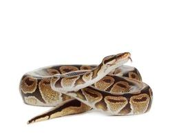 kunglig python foto