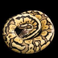 ball python-python regius