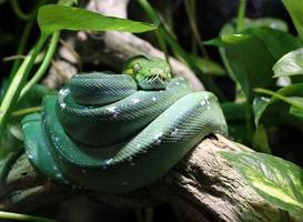 grön orm på gren i djungeln foto