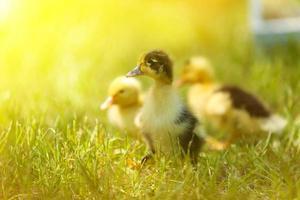 små söta ankungar på grönt gräs, utomhus foto
