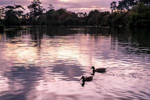 två ankor på dammen foto