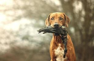 vacker jakt Rhodesian ridgeback hund holt anka foto