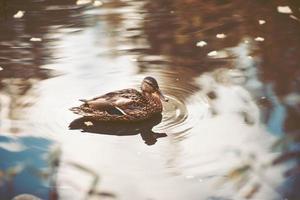 vildanden som simmar i dammet foto