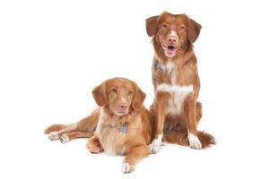 två nova scotia anka som tolling retrieverhundar foto