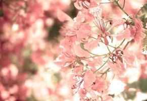 söt färgton av flam-boyant blomma