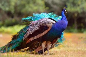 fantastisk smaragdgrön påfågel .. foto