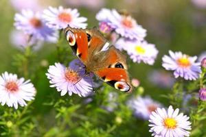 påfågelfjäril (aglais io) som sätter sig på blomningen foto