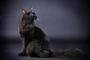 svart maine coon katt foto