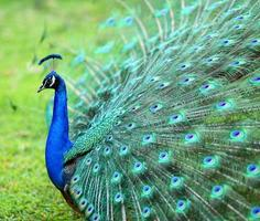 påfågel med fjädrar spridda ut med blues och greener foto