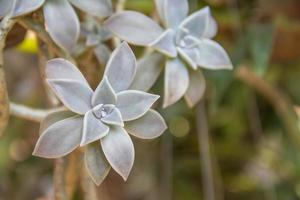 närbild påfågel echeveria kaktus foto