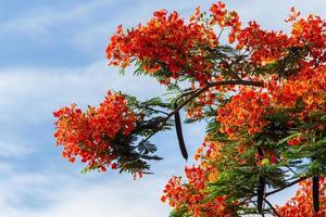 royal poinciana flammeträd ljusrött