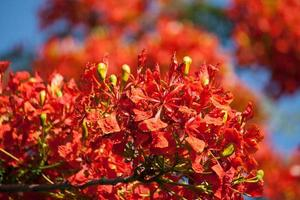 flamma trädblomma, royal poinciana flowe