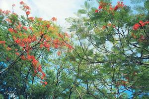 vacker orange delonix regia blomma
