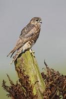 merlin, falco columbarius foto