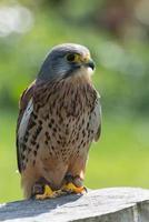 kestrel, rovfågel foto