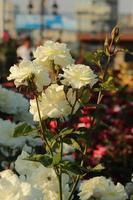 rosa swan lake - rose