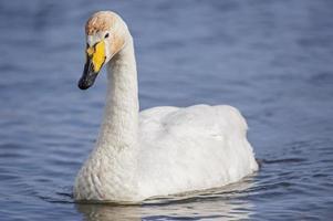 whooper swan, cygnus cygnus, simma på en loch, närbild foto
