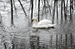 vit svan lever i ensamhet i en vinterpark