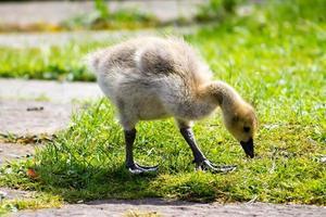 baby gosling foto