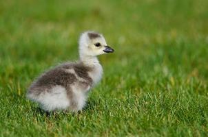bedårande liten gossling som letar efter mat i det gröna gräset