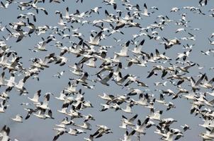 massiv flock snögäss som flyger över träsket foto
