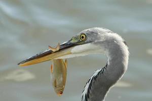 grå häger med en fisk foto