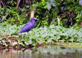liten blå häger, tortuguero, Costa Rica foto