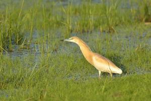 squacco heron (ardeola ralloides) foto