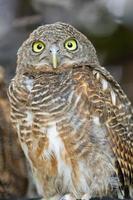 asiatisk spärrad owlet foto