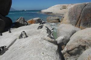 pingviner till stranden foto