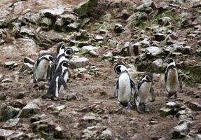 humboldt pingvin i ön ballestas, paracas nationalpark, peru. foto