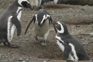 pingviner i patagonien foto