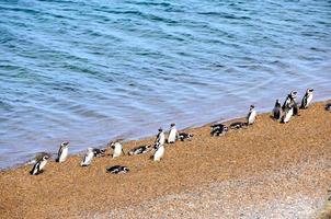 avkopplande pingviner foto