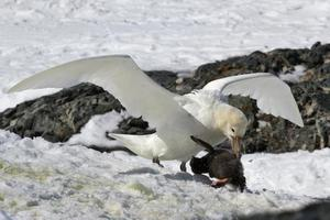 södra gigantiska petrel vita morphs som äter adelie pingvin brud foto