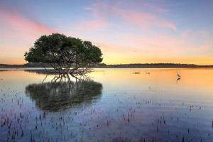 mangrove träd och vit ägretthäger foto