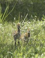 två baby sandhill kranar foto