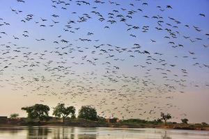 flock demoiselle crains som flyger i blå himmel, khichan by, foto