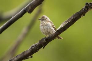 fågel på en gren, grenad med grön bakgrund. foto