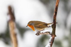 Robin på en gren foto