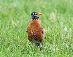 Robin i gräset foto